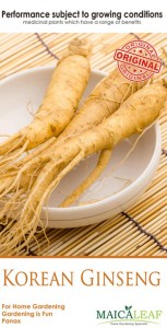 gingseng_maica_leaf