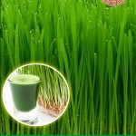 wheatgrass_maica