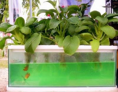 Mengganti Air Nutrisi Hidroponik