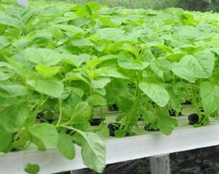Menanam Sayuran Sehat dengan Hidroponik