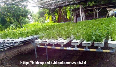 [foto] Kangkung hidroponik di Pulorejo Mojokerto