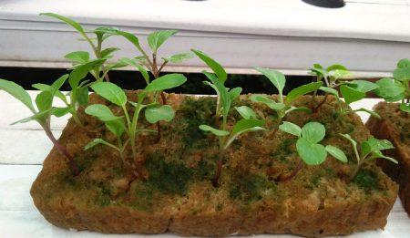 Tips tanaman hidroponik agar masih sehat dan segar selama di tinggal mudik